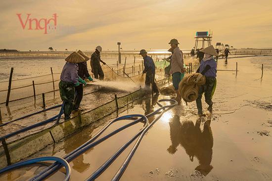 Để thu hoạch một ruộng ngao rộng lớn, chủ nuôi sẽ phải cần đến 20 người làm thuê liên tục trong một ngày