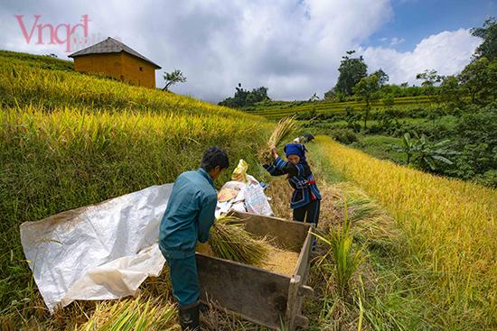 Do canh tác trên sườn núi có độ dốc lớn, nên phần lớn bà con nơi đây vẫn giữ cách thu hoạch thủ công truyền thống bằng cách đạp lúa vào những thùng gỗ lớn